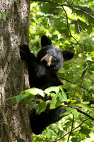 Bear Cub in tree 4570