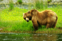Grizzly grazing 1426
