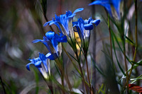 Blue Pineland Gentians in bloom 295